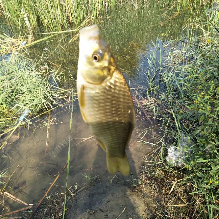 芦苇浓密藏黄金,大鲫大鲤入护来。汾河大片芦苇蒲草,成了鱼儿繁衍后代的产床。优山美河,太原大美。