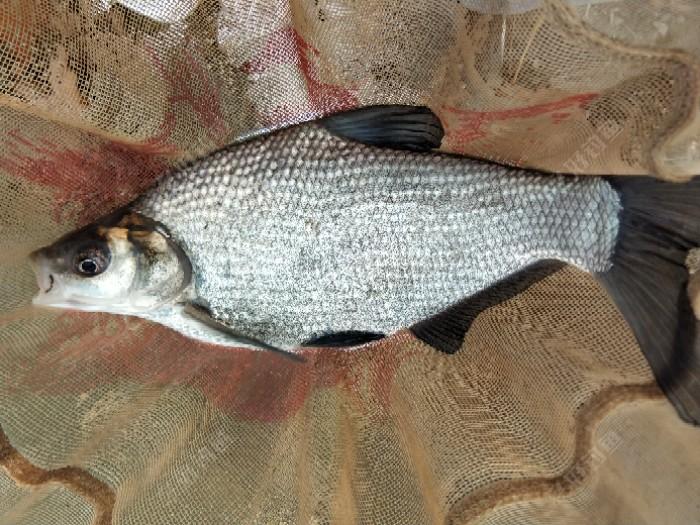 闹小鱼没有什么好方法,把饵料调的非常硬,捡着大鱼口打,一上午就中一条鲂鱼