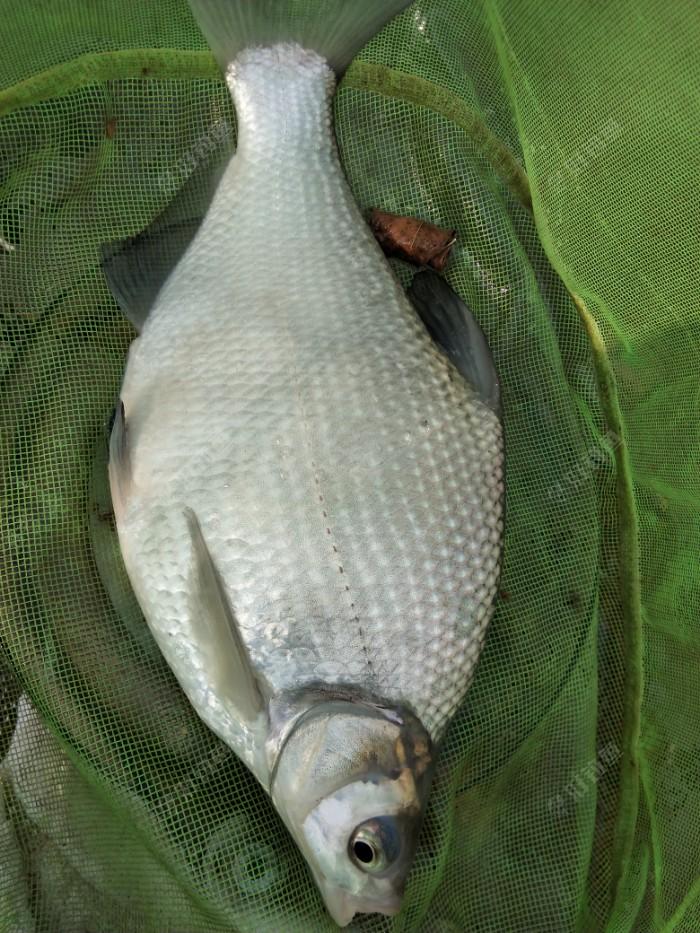 下午延续上午的战术,硬饵到底,分辨大鱼的漂相打,中一条漂亮的鲂鱼,各位看官不要觉得小鱼没事,这个地方,随便扔一点饵料,水面密密麻麻一层白条。