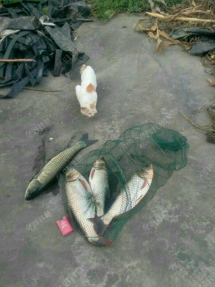 水怪浮钓花白鲢草鱼