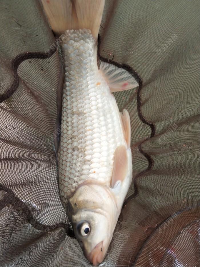 目标鱼:斤鲫鱼