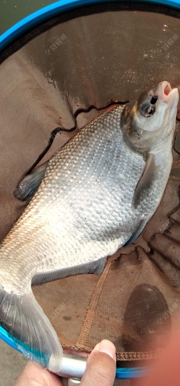 中获鳊鱼一尾