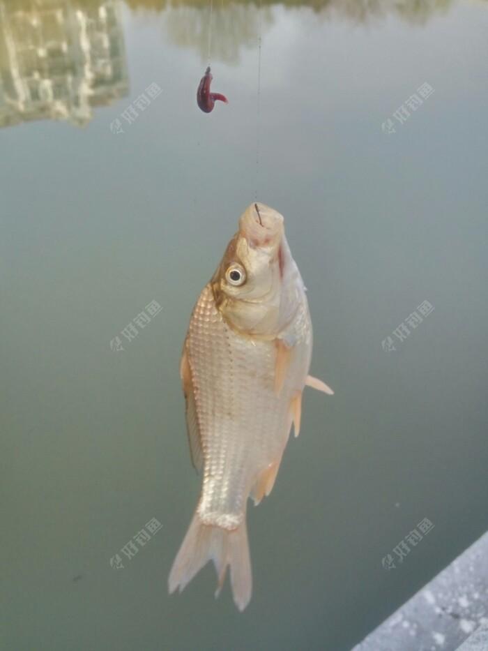 吃完早饭,天还沒亮,我趁空闲,用红虫夾,.夾住数十条红虫,先釆用橡皮筋梱住,再用红线捆绑,这样,可防止在引钓中红虫散落,一团红虫在钓勾上掙扎,对鱼是极大的引力。