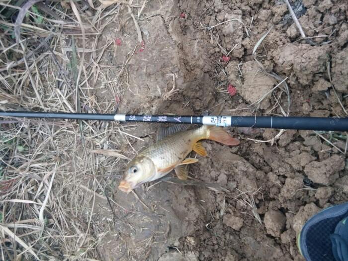 这是快三个小时钓到这鱼塘的巨物大慨一斤左右的鲤鱼,用的3.9米江湖猎人,一斤鲤鱼直接飞,,质量不错