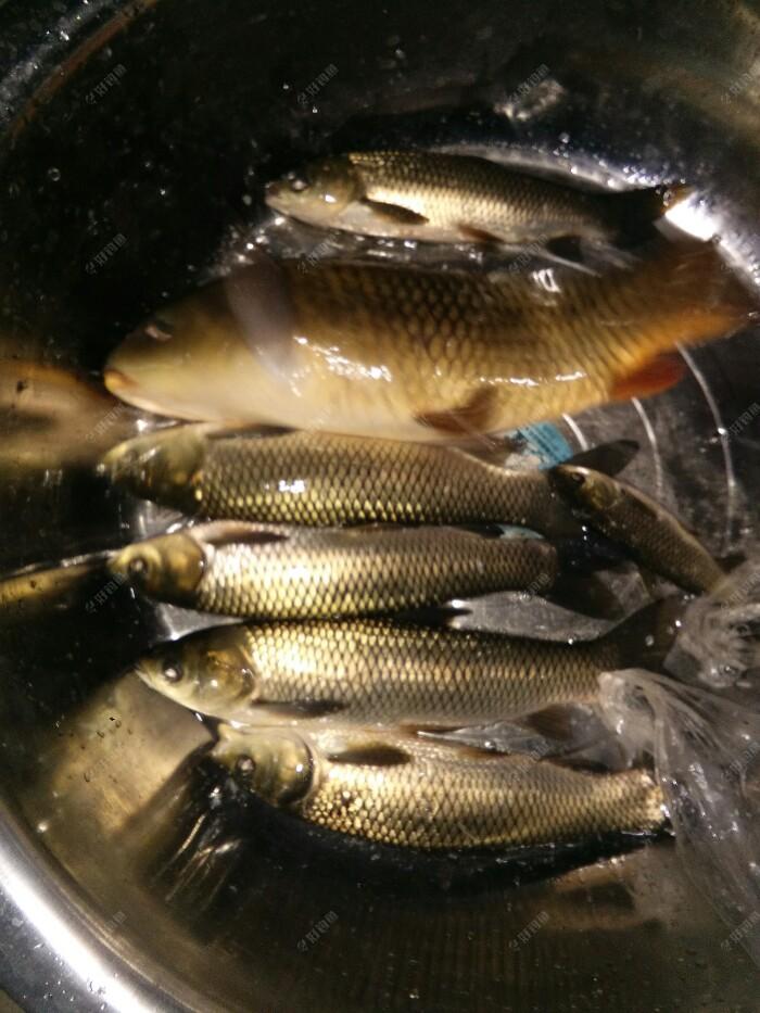 我的总鱼获20斤,给了100,今年真是大鲫大鲤,