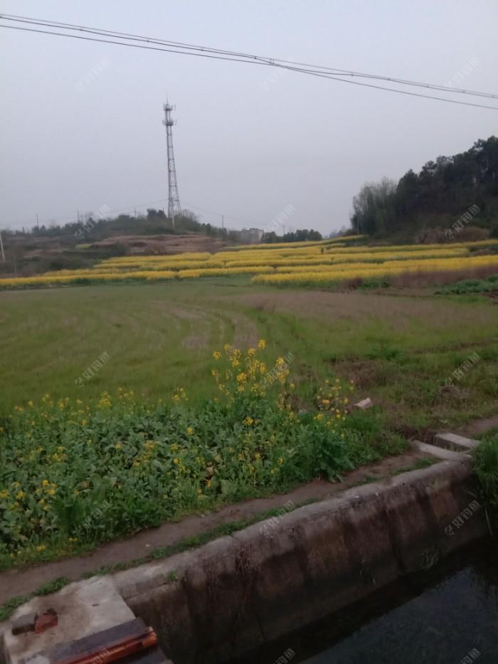 田园里的油菜花金黄的一遍遍