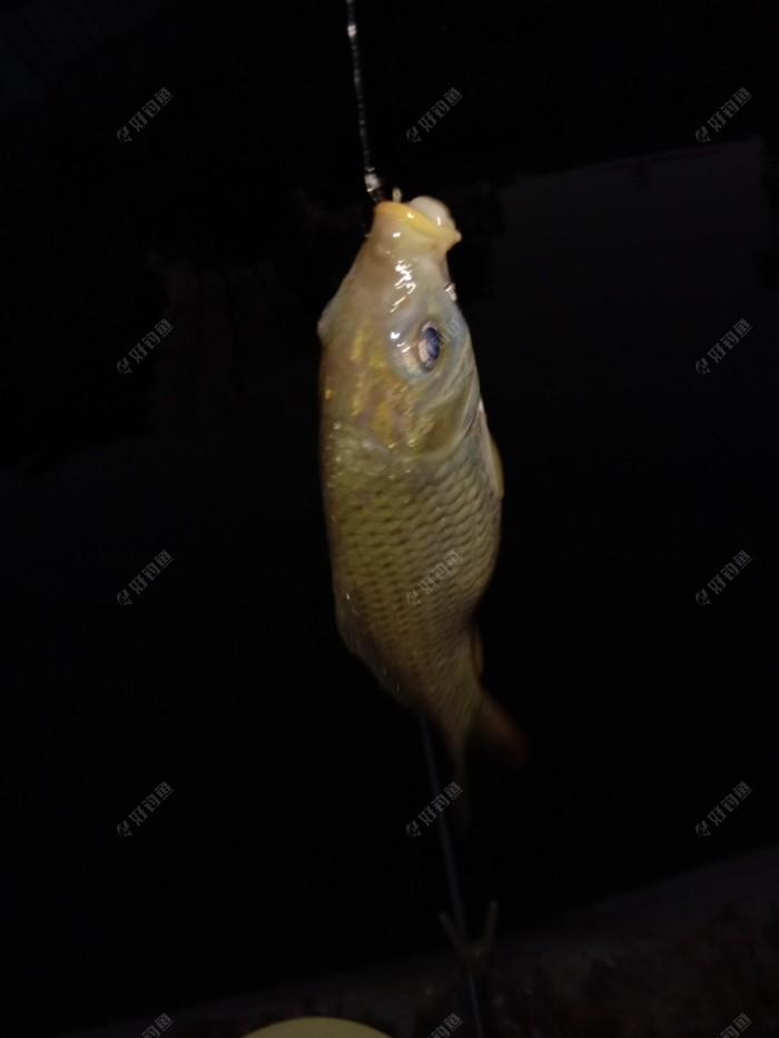 天黑后的小鲤鱼