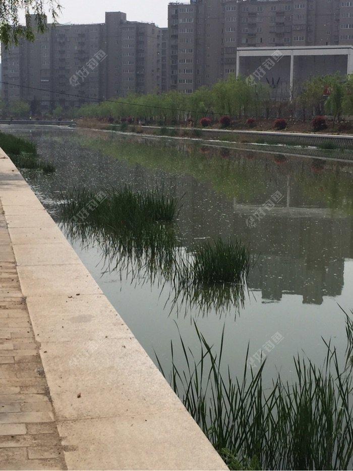 水面上也开始出现了柳絮,早上还是清水一潭。