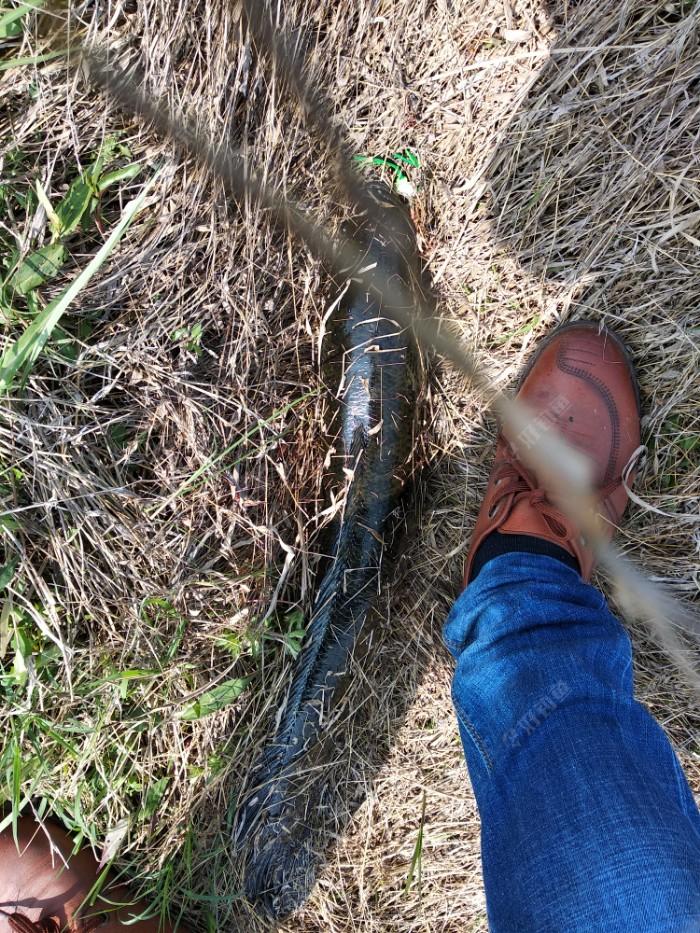 我等,感觉到线带上劲了,我大力扬竿。呼呼啦啦,一阵水花,中了,线杯松了,回不了线,感紧紧下,怕跑了,我直接往后退,田里还有水啊。不管了,斗上来再说。