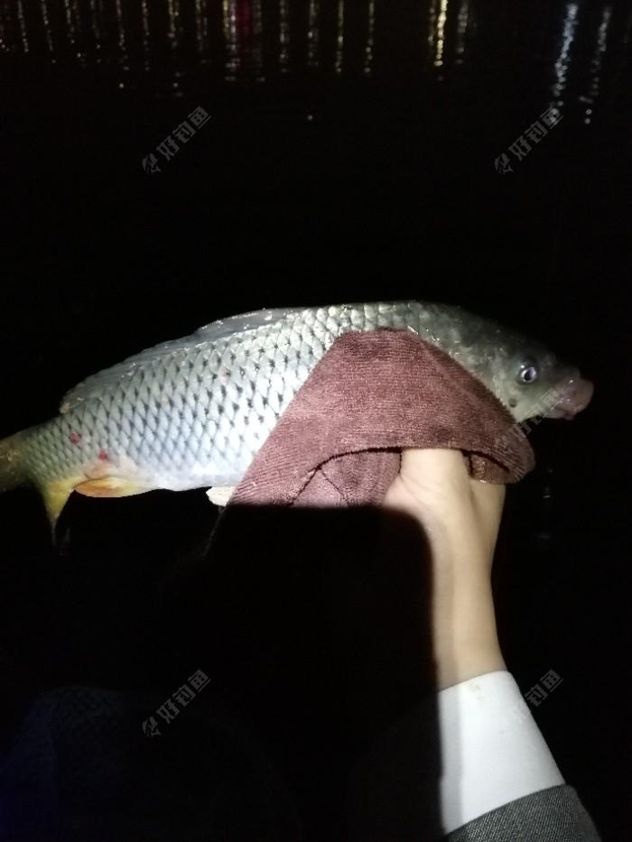 一斤多的红毛鲤鱼