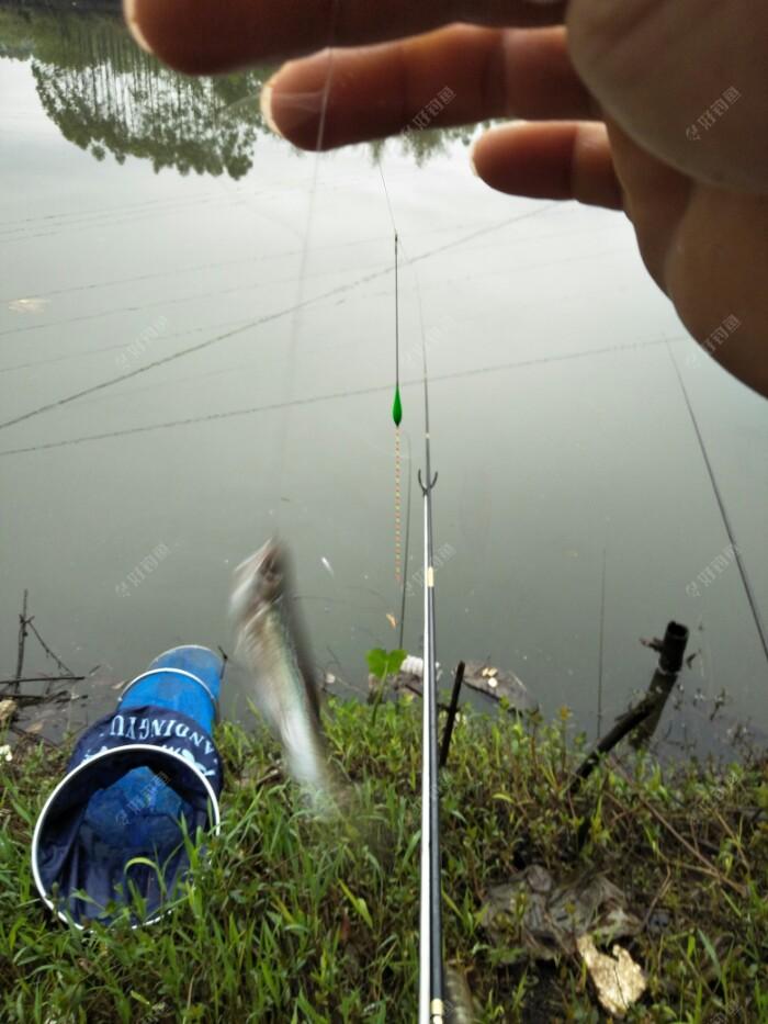 开杆鱼,这小白条还是无处不呀!