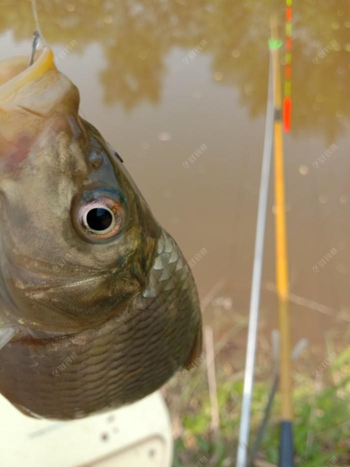 开杆鱼小鲤鱼,半斤左右