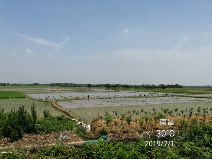 开始种晚稻了,还是人工插秧的,蛮累的