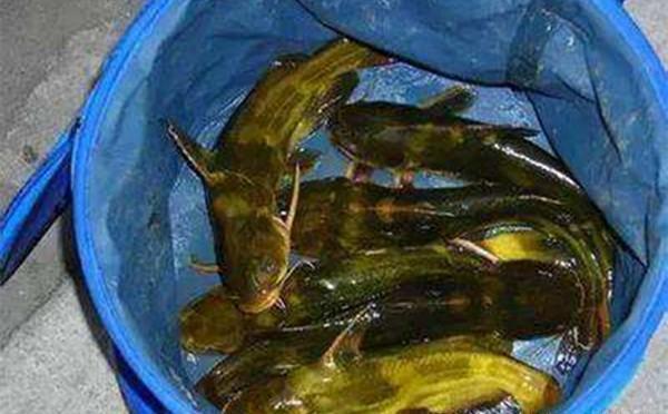 夏季手竿釣黃顙魚技巧