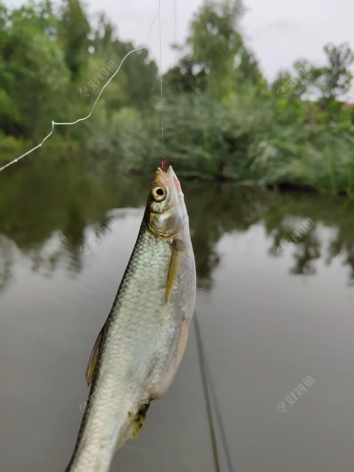 我的开竿鱼,饵料上的,白条都可肥了