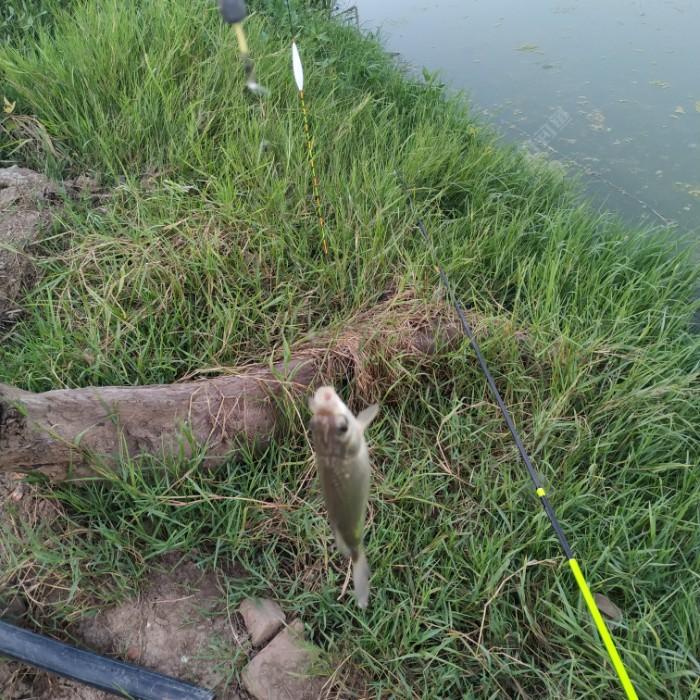 所有鱼获随钓随放,没入盆,天太热,鱼容易死。