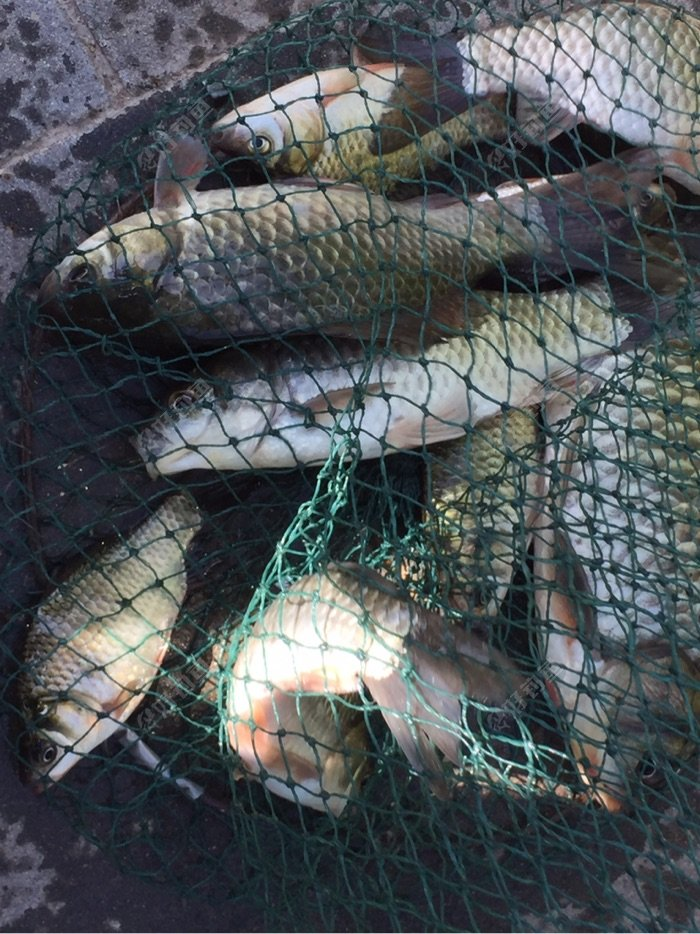 老釣場釣魚,七點半以后魚兒沒口