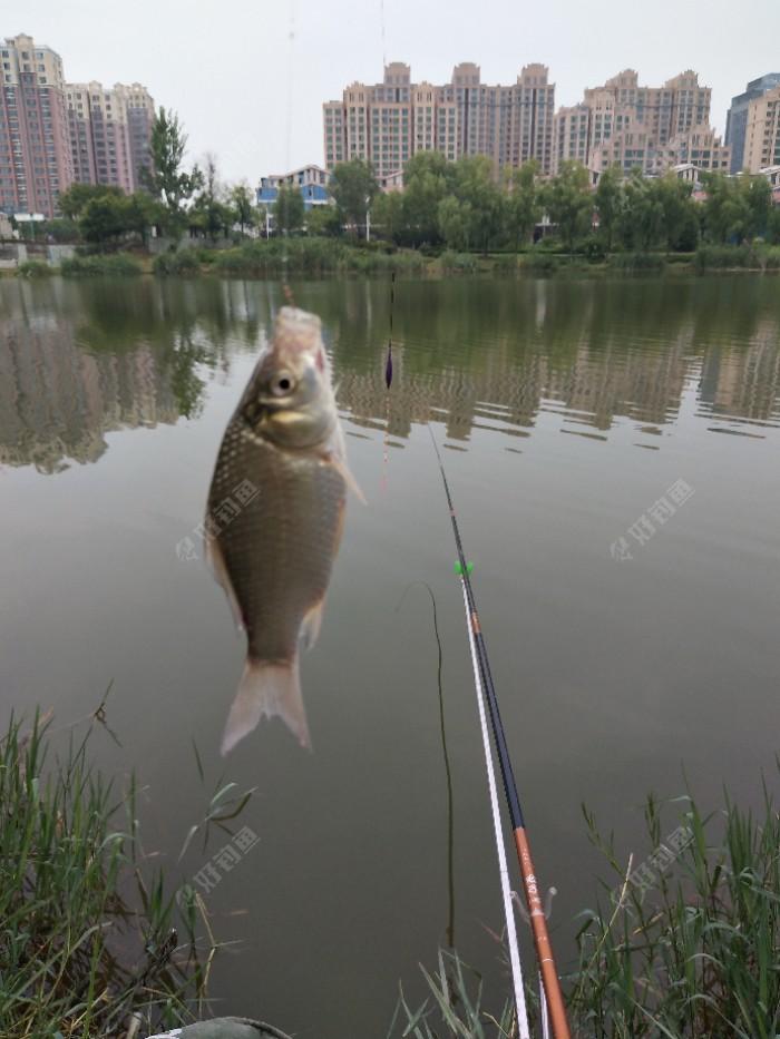 开始不停抽拉就是为了打窝养窝,没出半小时一尾鲫鱼出水。总于见到目标鱼了心里真还有点小激动。