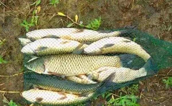野钓大草鱼的自制饵料,里面加的东西就能专钓大草鱼