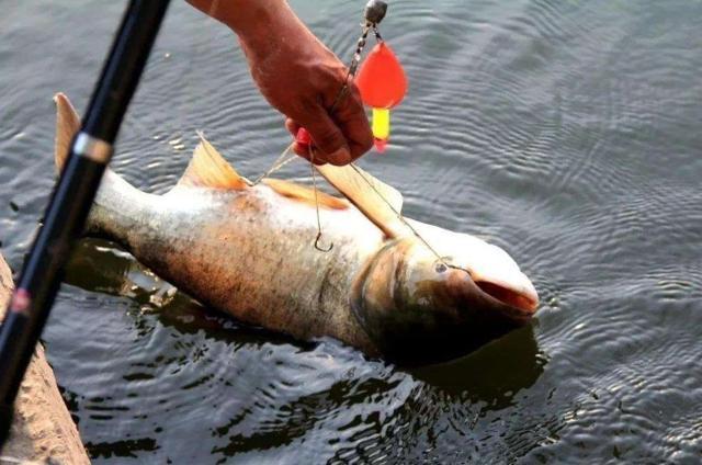用這3大戰術釣鰱鳙,線組釣位窩餌調整