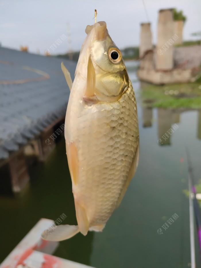 最后一个收杆鱼,鱼获全部给了旁边的钓友