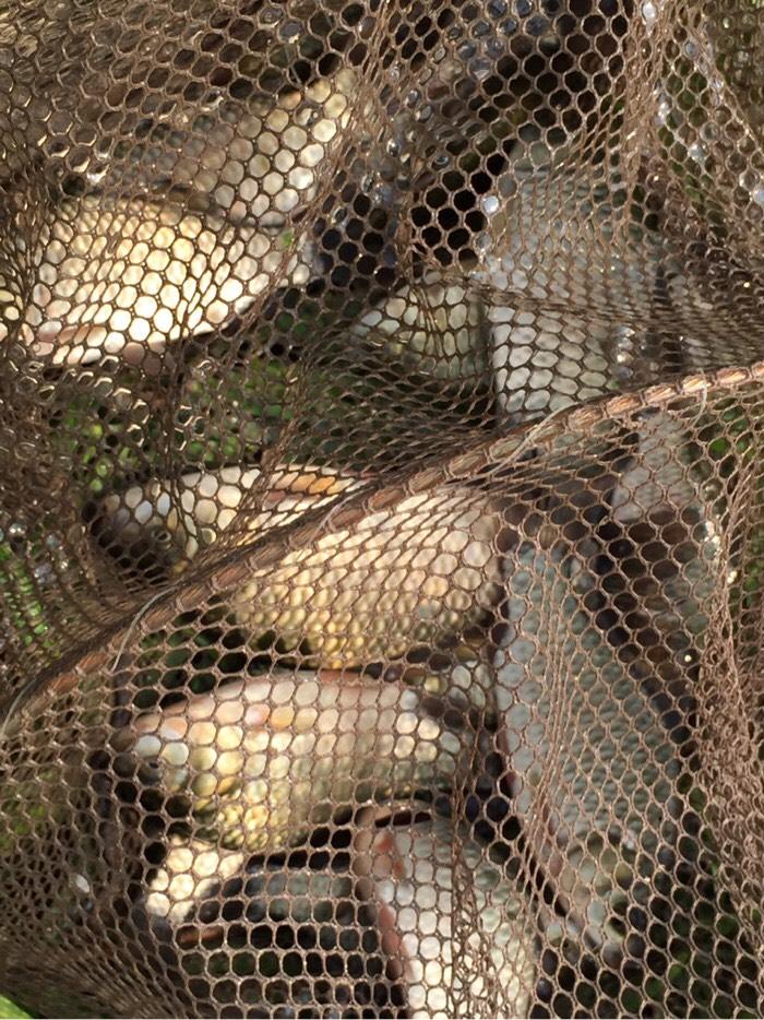 今天的鱼获,一共收获了二十三条鲫鱼。