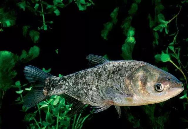 釣鰱鳙的習性、線組搭配、釣點選擇和餌料配方