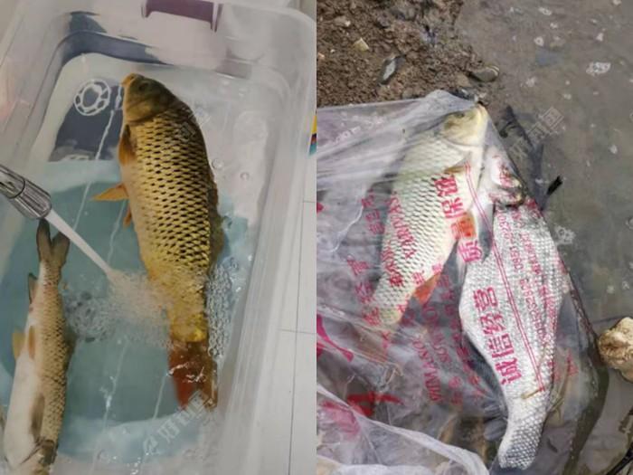 这是两次的鱼获,上次鱼获斤鲤和斤武昌各一尾。这次大红鲤一尾小草一条,小草差不多一斤,本意拿回老家养池子里,结果半路被大鲤干掉了。