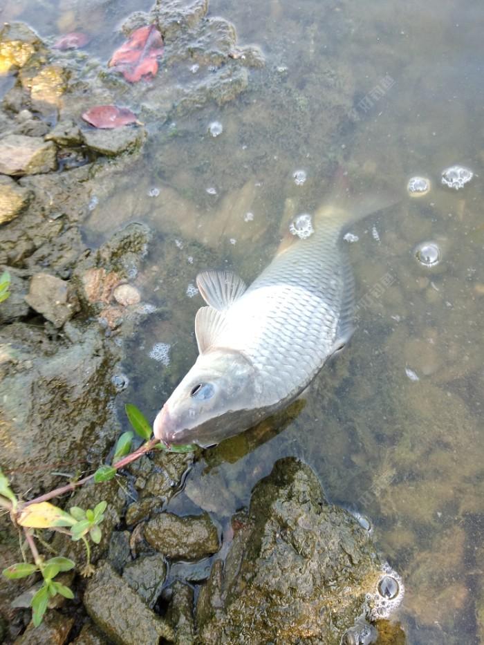 今天最大的一个鱼,二斤多