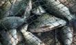 中秋、国庆,八月十六上午收获鲫鱼28条