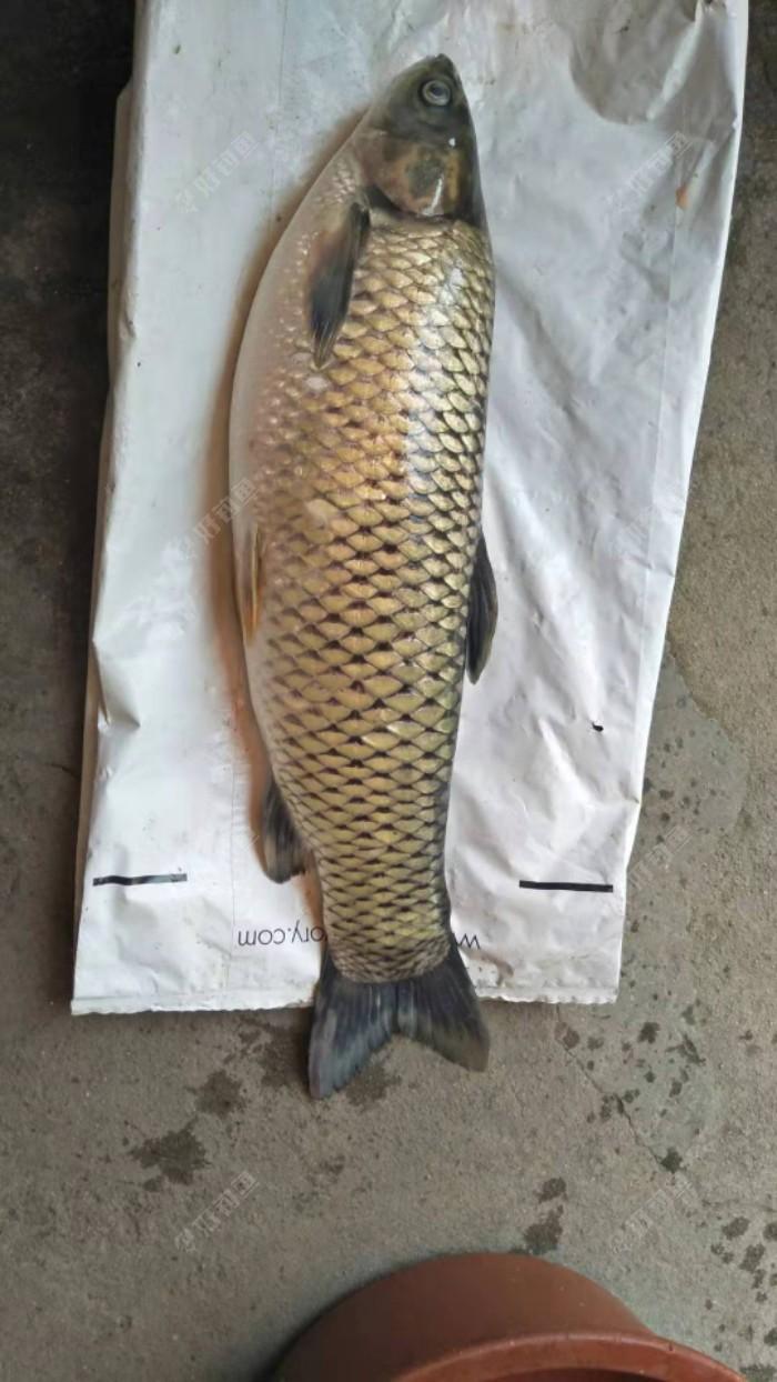 9斤大物,哥们,上了一条鲤鱼,5斤+  ,青鱼一条7斤+,其他的,小草鱼,小鲤鱼不少