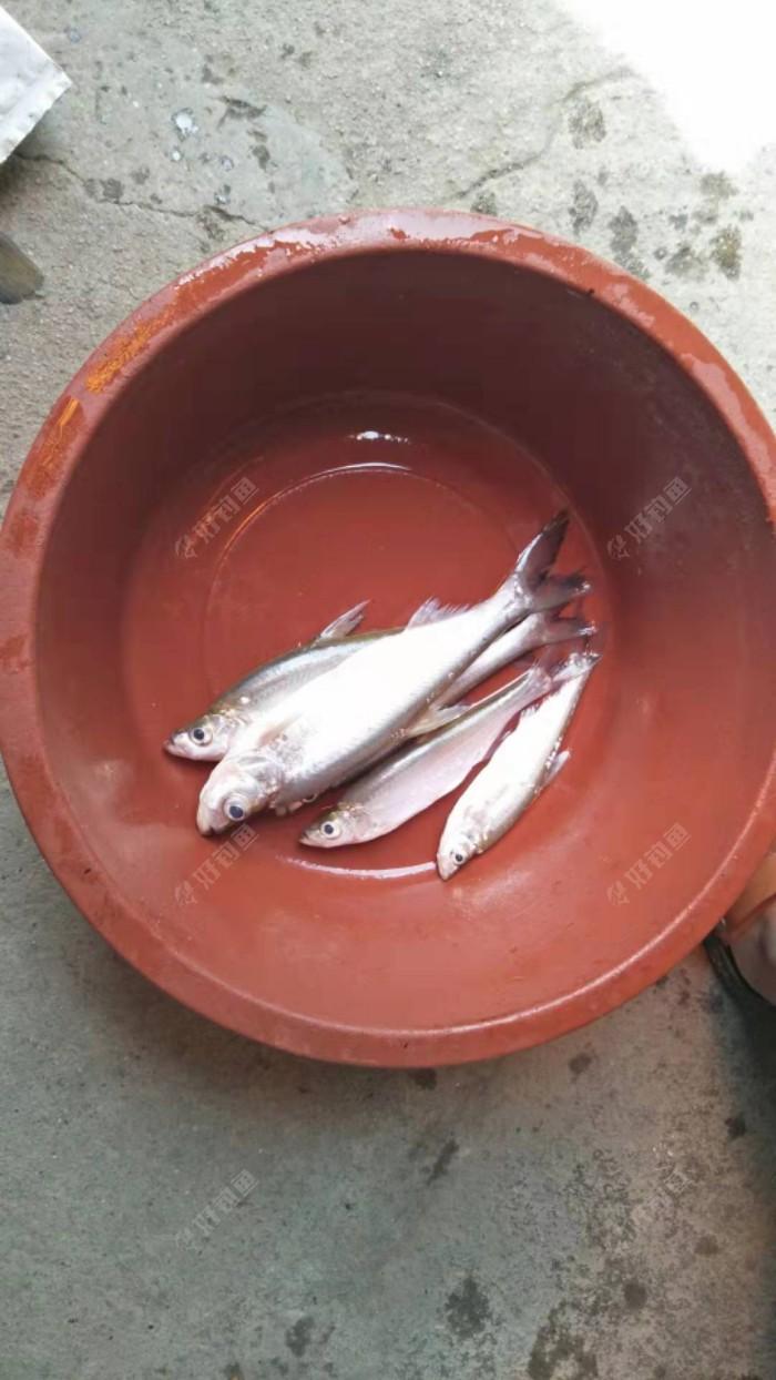 来来来,杀鱼🐠咯,钓鱼容易杀鱼难,翘嘴十几条,