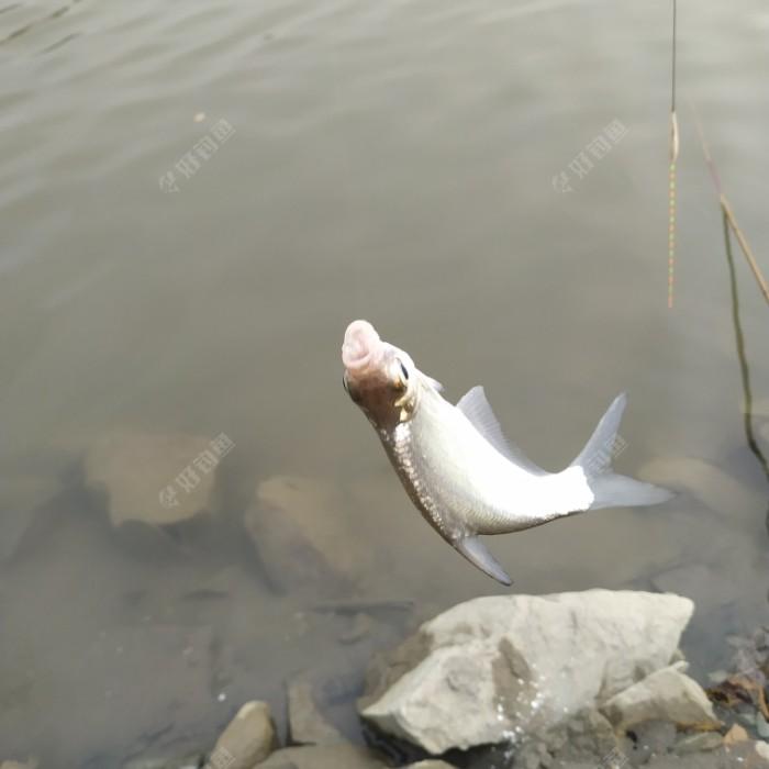 又一尾小鳊鱼。