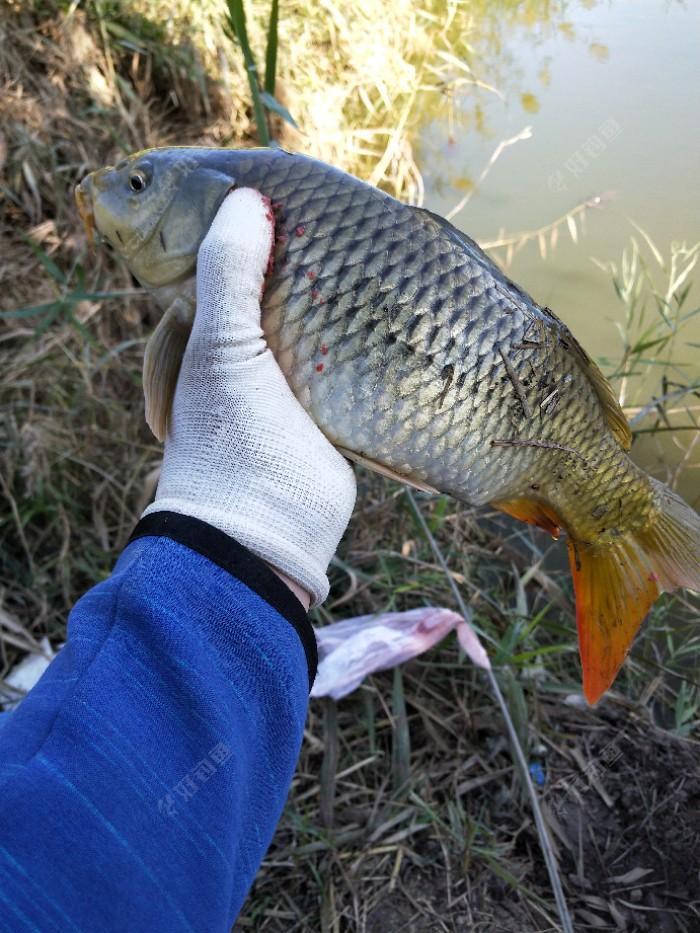 第一条小鲤鱼感觉有个一斤多二斤左右