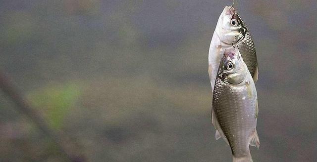 秋季钓鱼让你越钓越多的3个好招