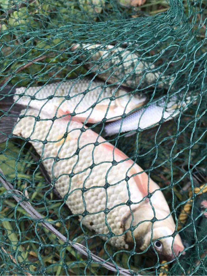 今天早上的鱼获,老伴钓到的一条大板鲫,还有几条鲫鱼。