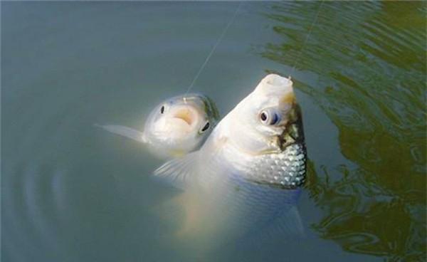 冬季鱼口轻,就用这三招,放大信号,中鱼率飙升
