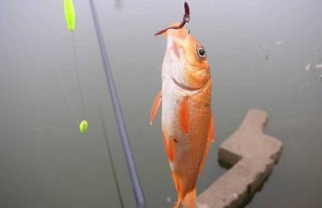 冬季野钓,蚯蚓和红虫,哪一个做钓饵效果更好