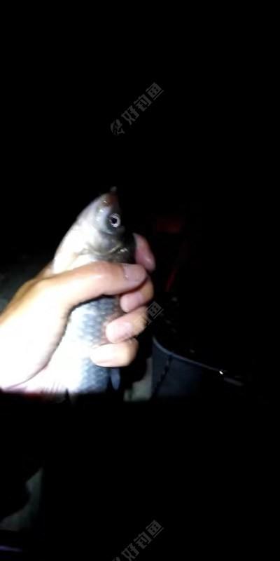 同样是一条河鲫鱼竟然有几个品种