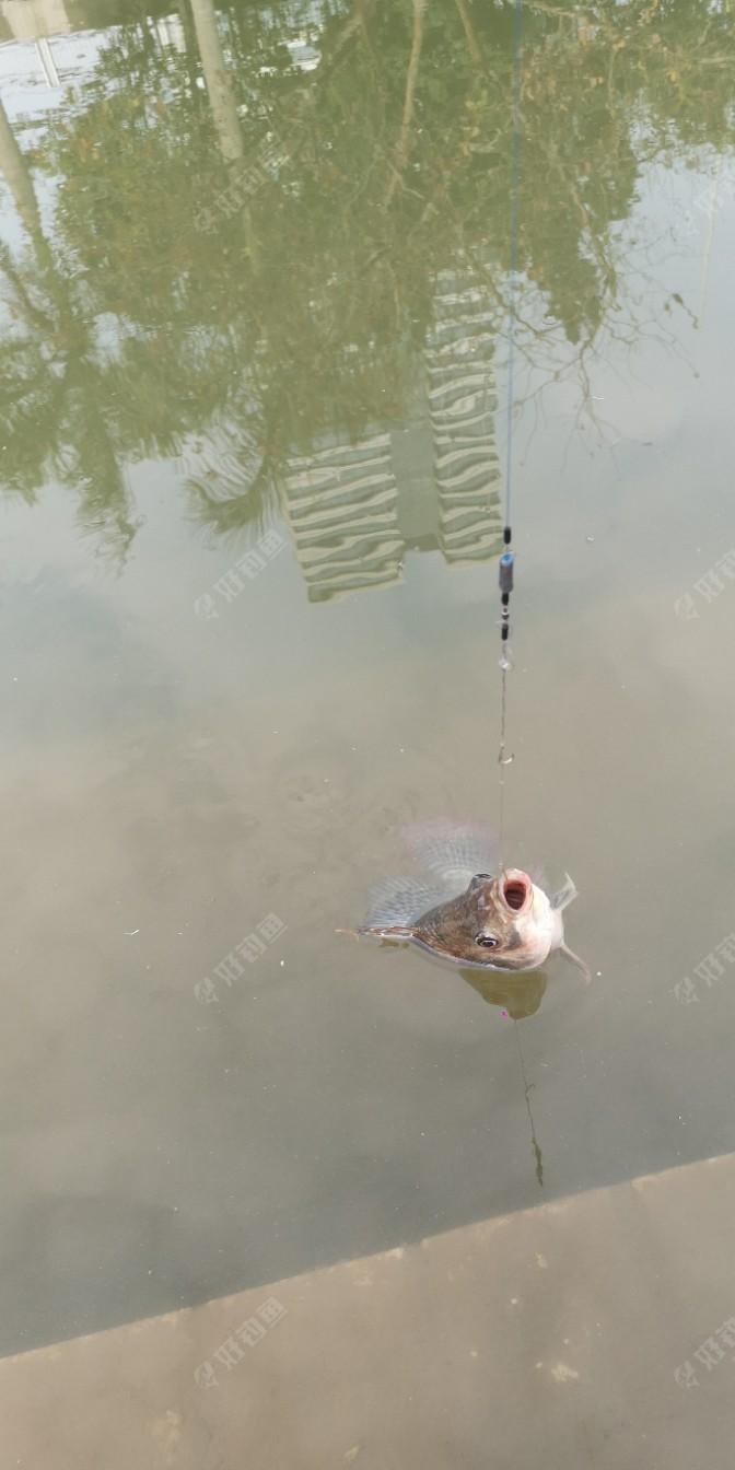 这时已经过了有40分钟左右,突然浮漂一上一下,我猛地一提竿,哇塞中鱼了,这鱼力气不小,但鱼不大,在半斤左右,我没费力就把他拉了上来,原来是一条罗非鱼。