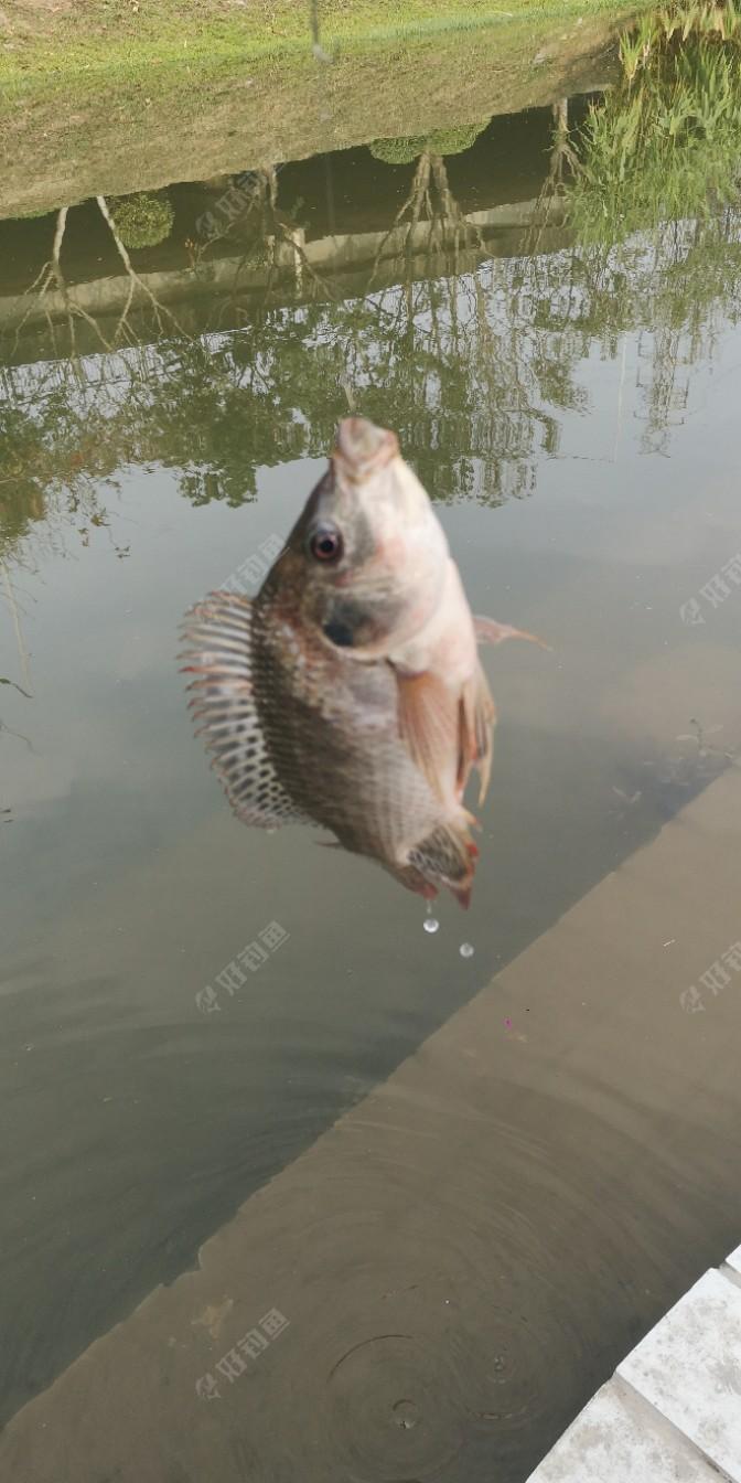 这条鱼虽然不大,但还可以,今天只有我钓到鱼了,老冯说可以吗?,我来这么早,还没有看见鱼咬钩,恭喜你开竿啦,