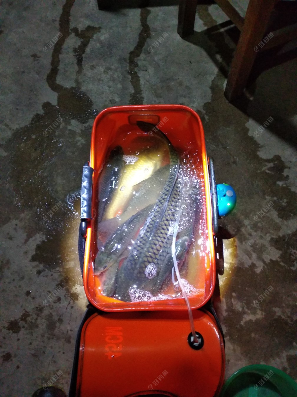 半米长的鲤鱼,原来都以为是草鱼,回来问钓友才知道是鲤鱼