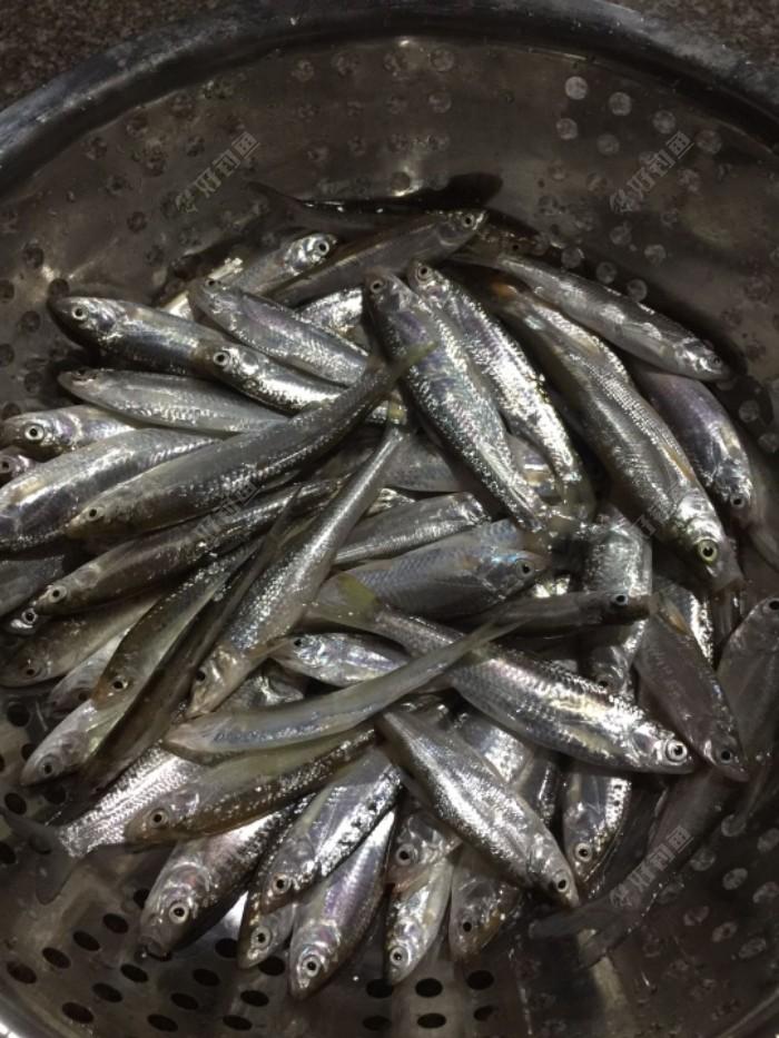 钓了一下午,这是主要鱼种,还有少许小黄尾和4两左右的小鲫鱼鲤鱼,放入自家池塘了,小白条挺肥的。