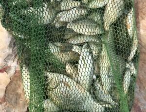 收好踏青节的尾,最后一天收获四斤鲫鱼