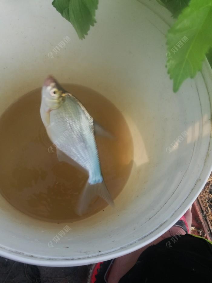 小扁鱼,这是外来物种,以前没有的。都说江苏人钓鲫鱼凶的很,我们这里也没有别地方那门多鱼种,黄尾,罗飞,鳜鱼就没见过,鲤鱼多但不待见,就剩下鲫鱼遭殃了
