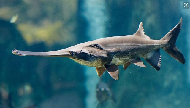活一亿五千万年的鱼,逃不过灭绝