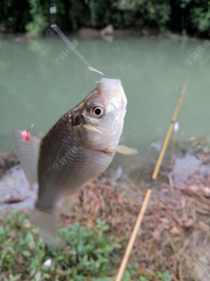 开竿鲫鱼,有一两吧,后来陆续上了三条,都比这个小,后来都放流了。