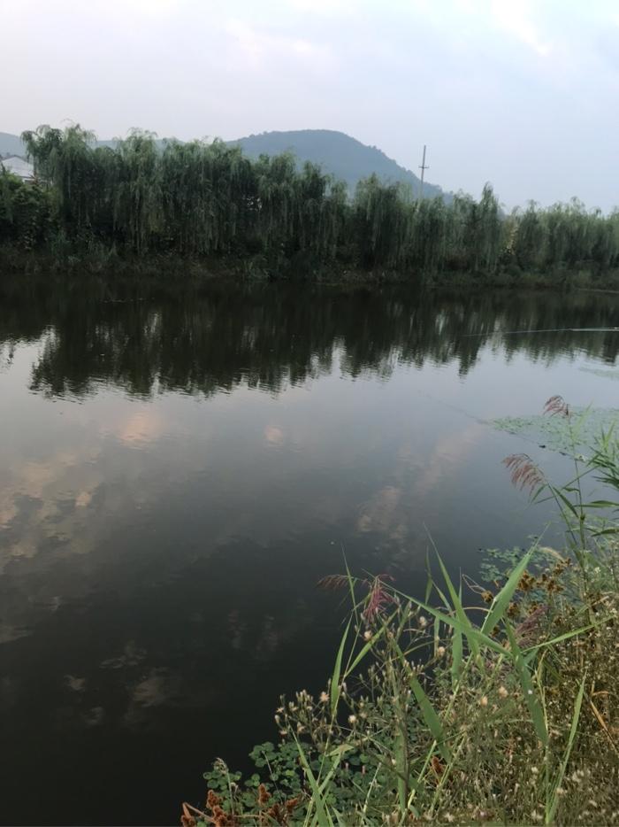 早上天还没有完全大亮,就到了河边开始准备钓鱼,东西两边河面上都是浮萍草及水生植物,唯独这个宽段没有。