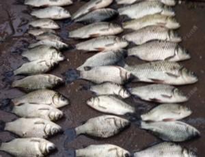 故鄉又一秋,釣獲不少鯽魚
