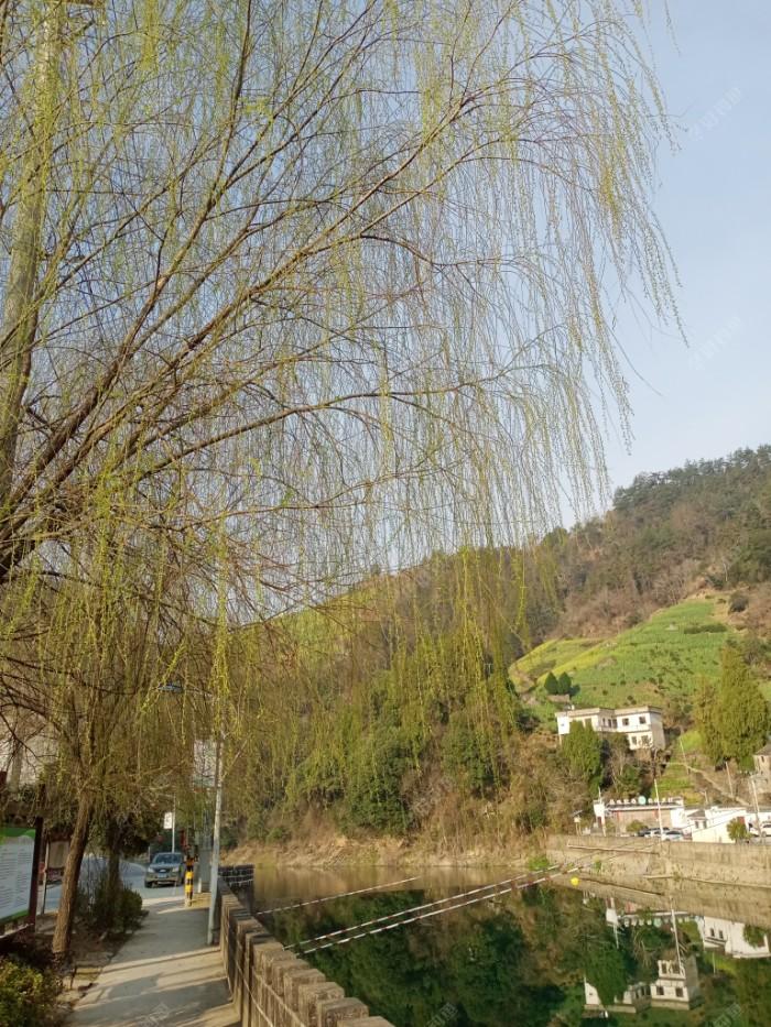 河边柳树嫩芽一天比一天大起来,远处油菜籽地慢慢铺上了金黄色毯子。